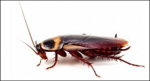 Evdeki Hamam Böceklerinden Nasıl Kurtulurum